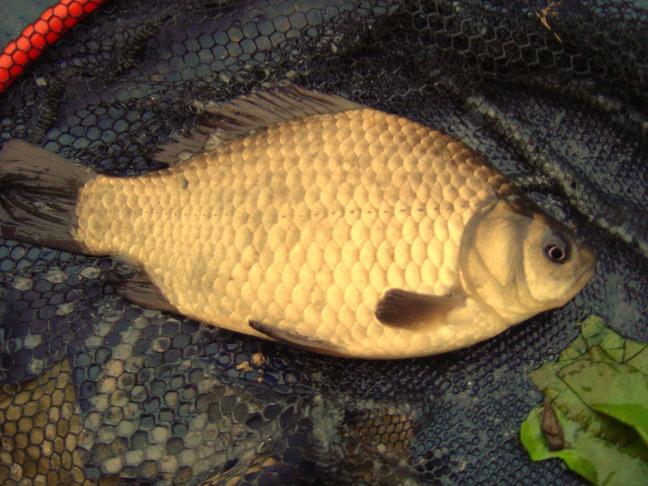 атомная рыбалка карась золотой