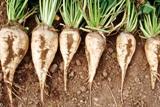 На Рівненщині почали копати цукрові буряки